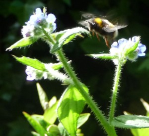 Best Bumblebee in motion 24 May 2015