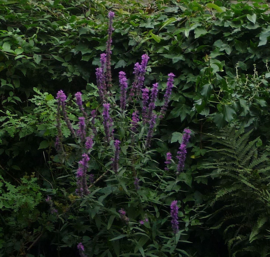 Best Purple Loosestrife in the Fern Bed