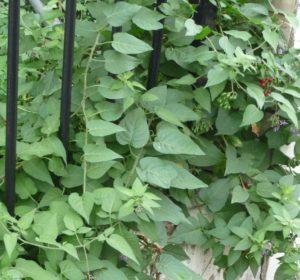 Bittersweet, front garden