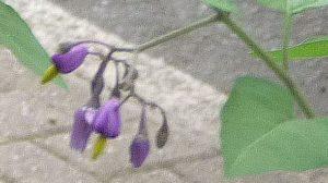 Bittersweet front garden crop.