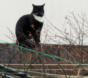 Black cat white bib white whiskers on fence FEB 2015
