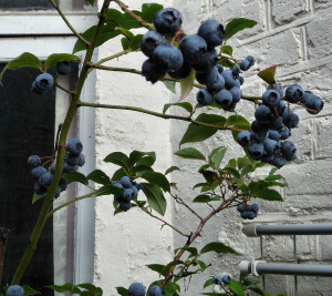 Blueberries 2015