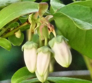 Blueberry flowers 3 May 2015 crop