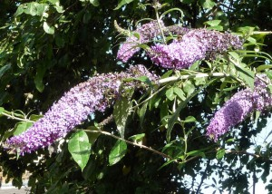 Bumblebee on Buddleia davidii