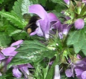 bumblebee-in-lamium-flower