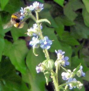 Bumblebee on Alkanet