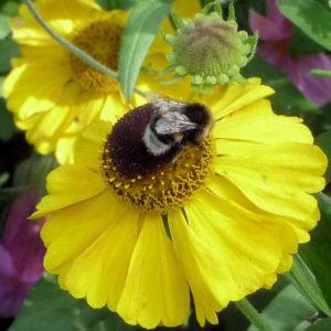Bumblebee on Helenium 'El Dorado' 2016