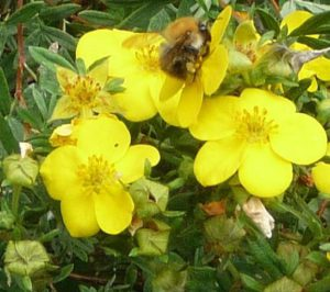 Bumblebee on Potentilla