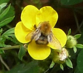 Bumblebee on Potentilla single