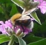 Bumblebee on Purple Loosestrife closeup