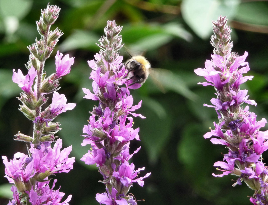 Bumblebee on one of three Purple Loosestrife spikes