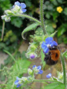 Bumblebee with rusty cloak on Alkanet