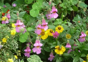 chinese-foxglove-rehmannia-magic-dragon-helenium-el-dorado