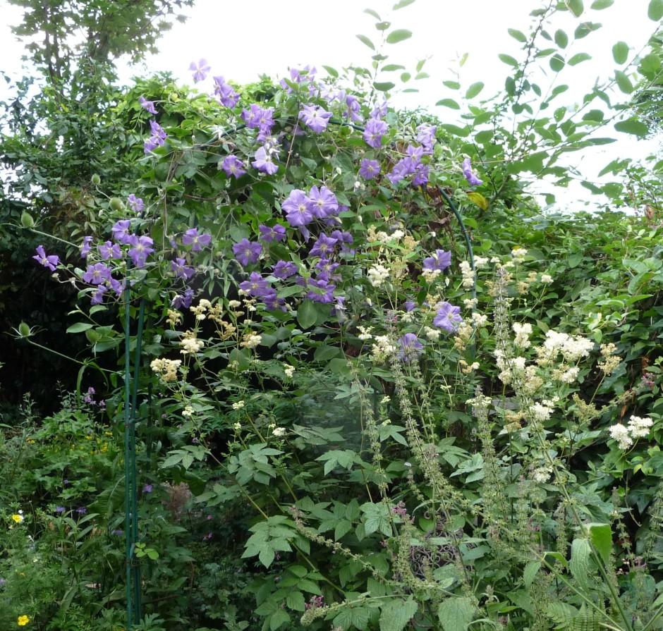 Clematis Perle d'azur, Meadowsweet, ferns, Goat Willow