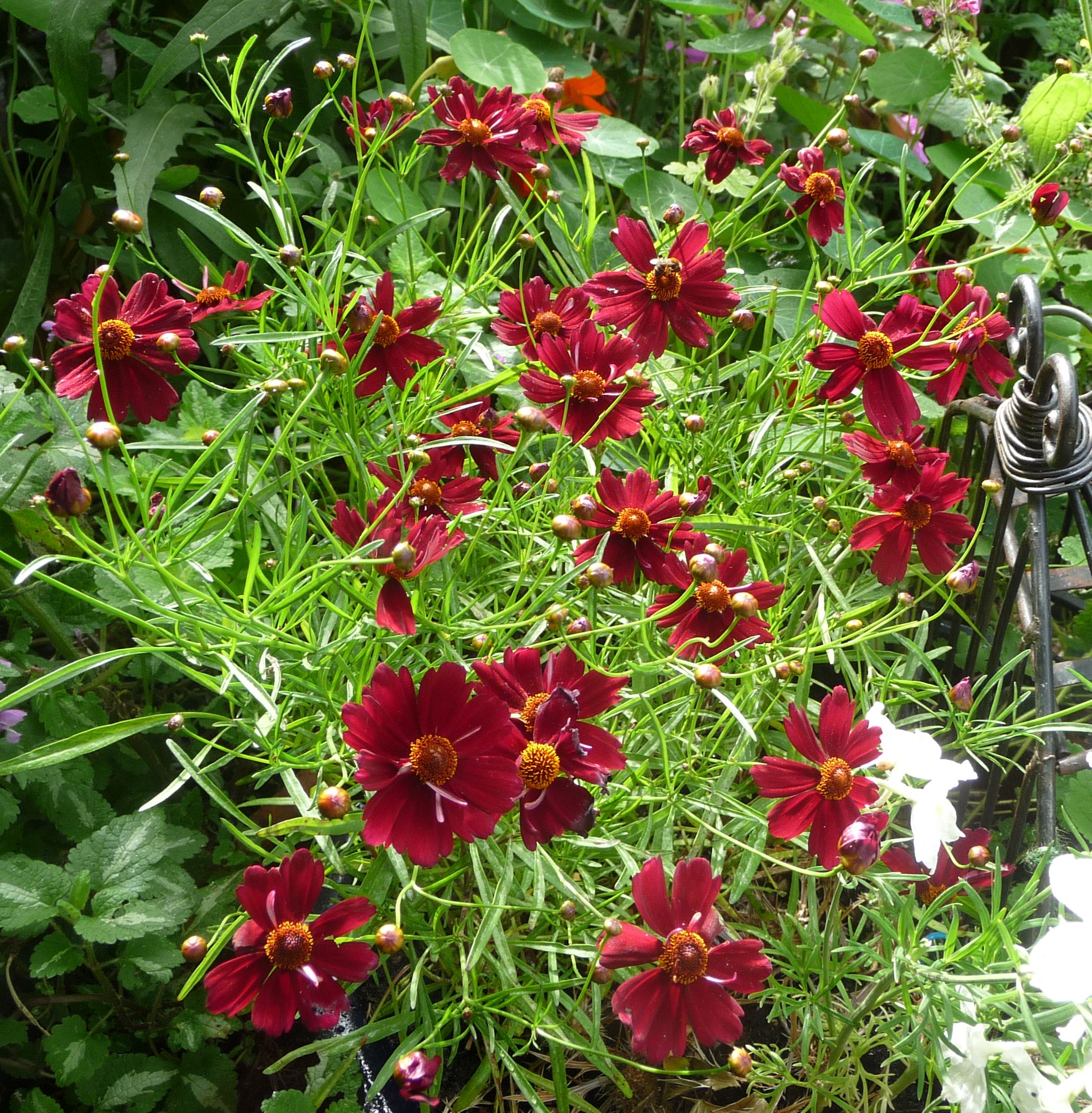 coreopsis-limerock-ruby-with-bee