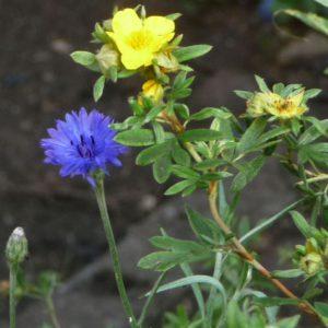 Cornflower and Potentilla September 2016
