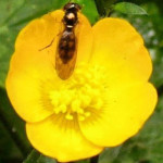 Creeping Buttercup with insect