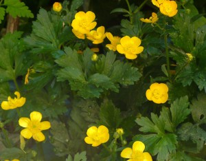 Creeping Buttercups closeup crop