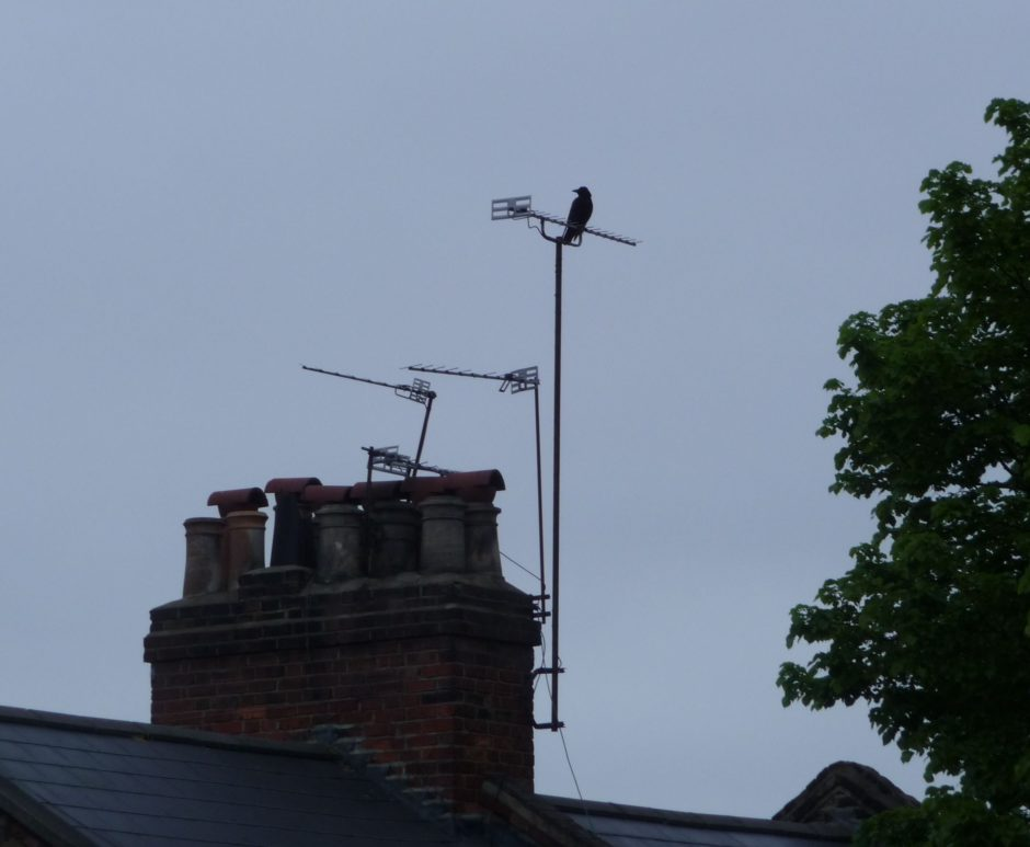 Crow on chimney aerial