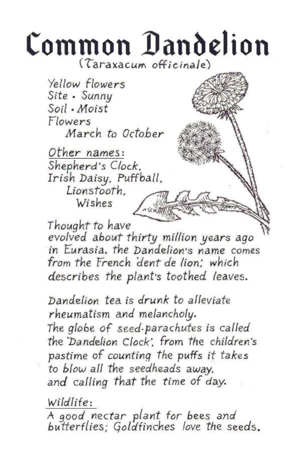 Dandelion bio