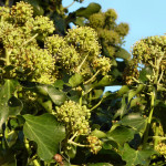 English Ivy flowers