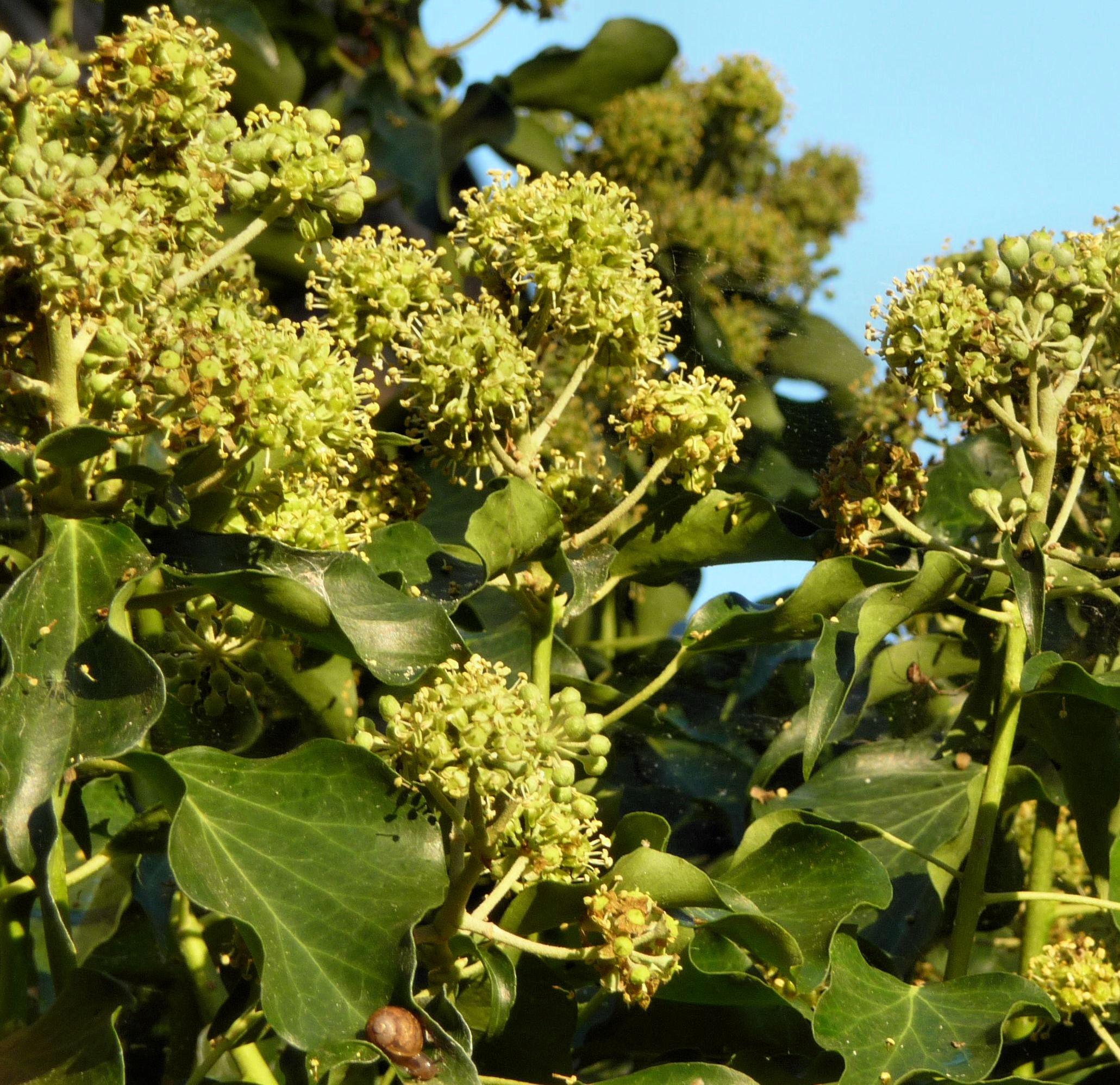 Hedera Helix Flower