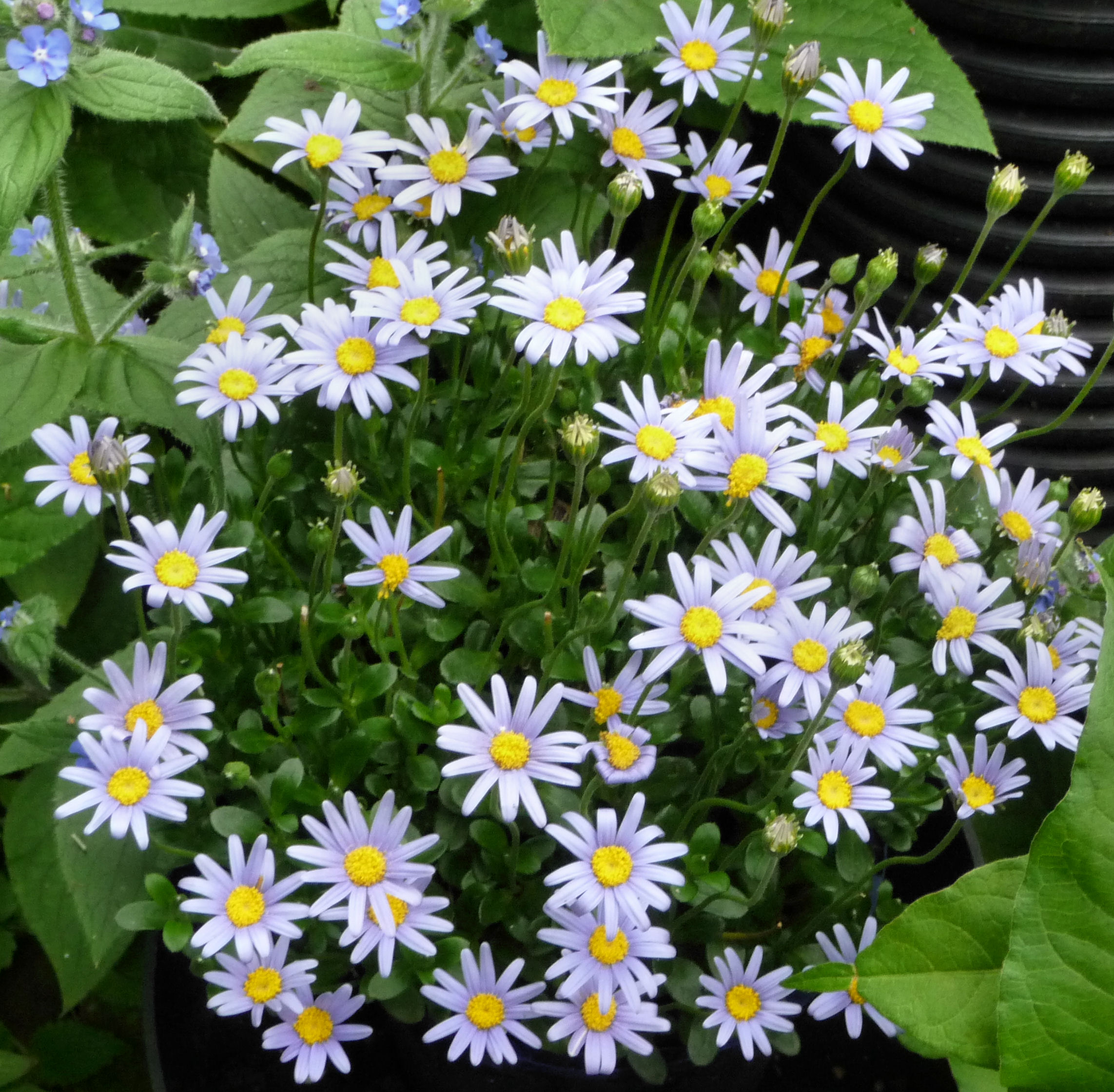 Felicia amelloides blue daisy highbury wildlife gardenhighbury this native of south africa has bright sky blue daisy flowers its small shiny leaves and stems are brittle they break rather than bend izmirmasajfo