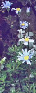 Feliciia flowers