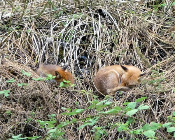 Fox in Back with cub, asleep