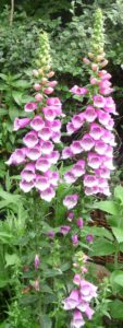 foxglove-fingerhut-tall