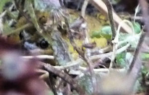 frog-in-lamium-maculatum-leaf-camouflage