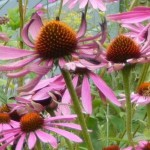 GPk Coneflowers crop thumbnail