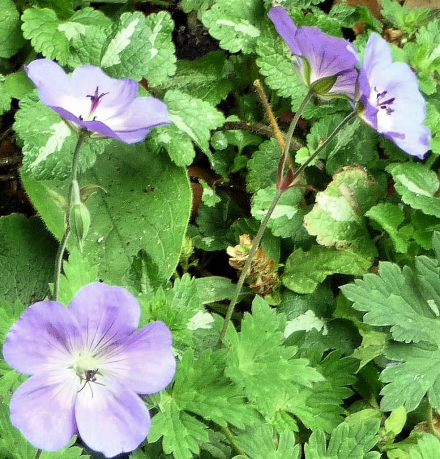 Geranium 'Buxton's Blue' 2