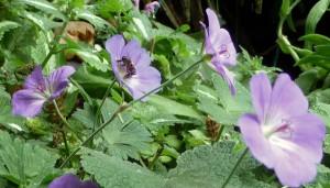 Geranium 'Rozanne', honeybee