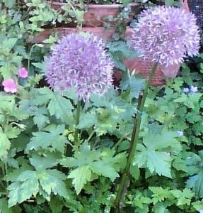 Globemaster Alliums, crop