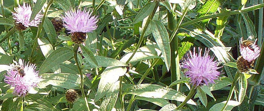 HONEYBEES on knapweed 29 July 2014
