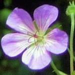 Hardy Geranium wallichianum 'Buxton's Blue' crop