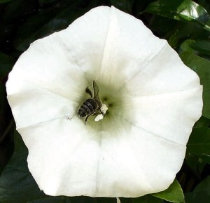 Hedge Bindweed. Honeybee