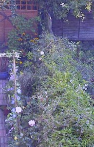 'Hedge' of Honeysuckle, Clematis, Ivy and Russian Vine over garden fence
