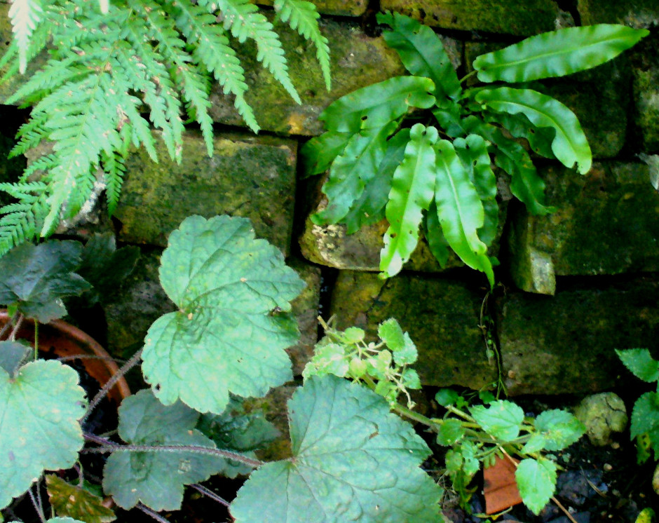Heuchera, Baby fern in Shepherd's plaid wall