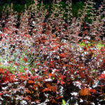 Heuchera closeup, Compton Terrace