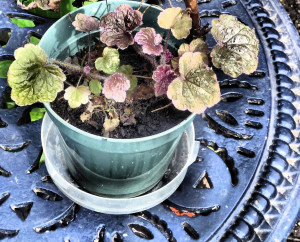 Heuchera recovering from vine weevil on blue table, late March 2015