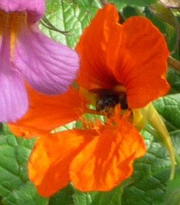 Honeybee in Nasturtium