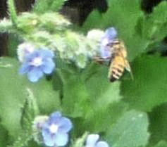 Honeybee on Alkanet clarified