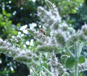 Honeybee on Applemint thumbnail
