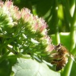 Honeybee on Ice Plant