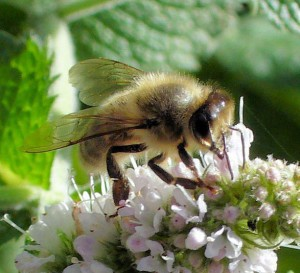 Honeybee on applemint