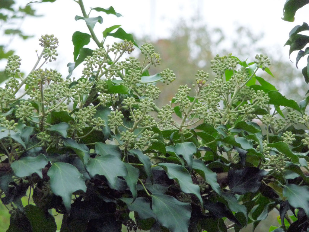 Mature Ivy in flower, September 2014