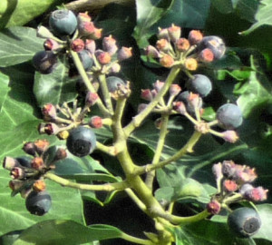 Ivy berries close up
