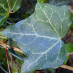 Ivy leaf close up